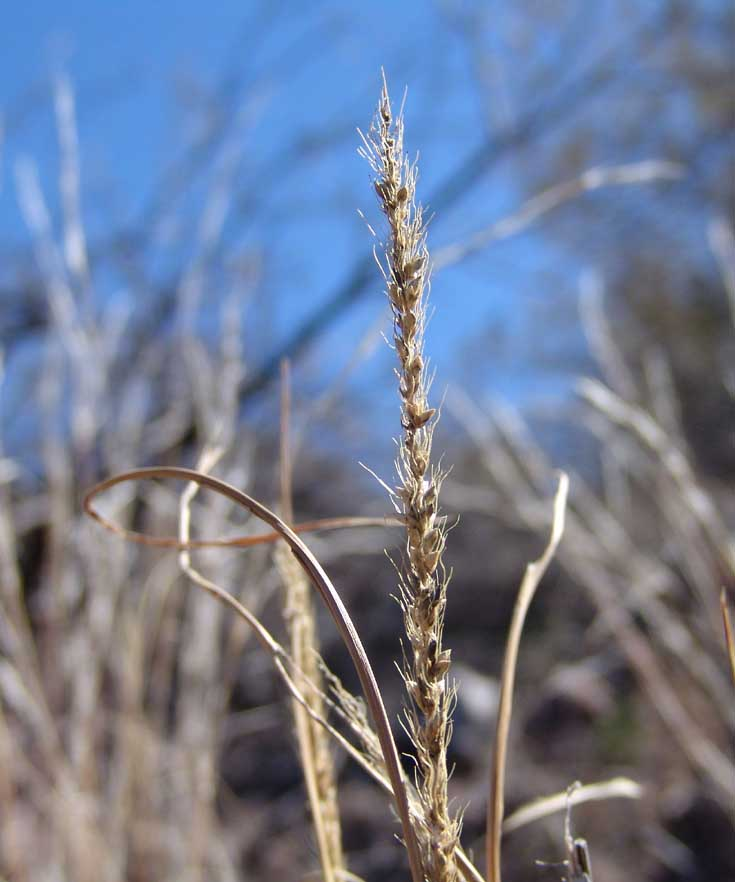 Plains Bristlegrass