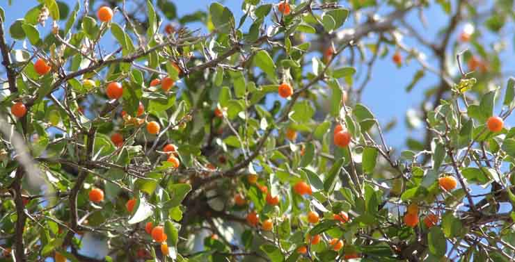 Orange Tree Logo